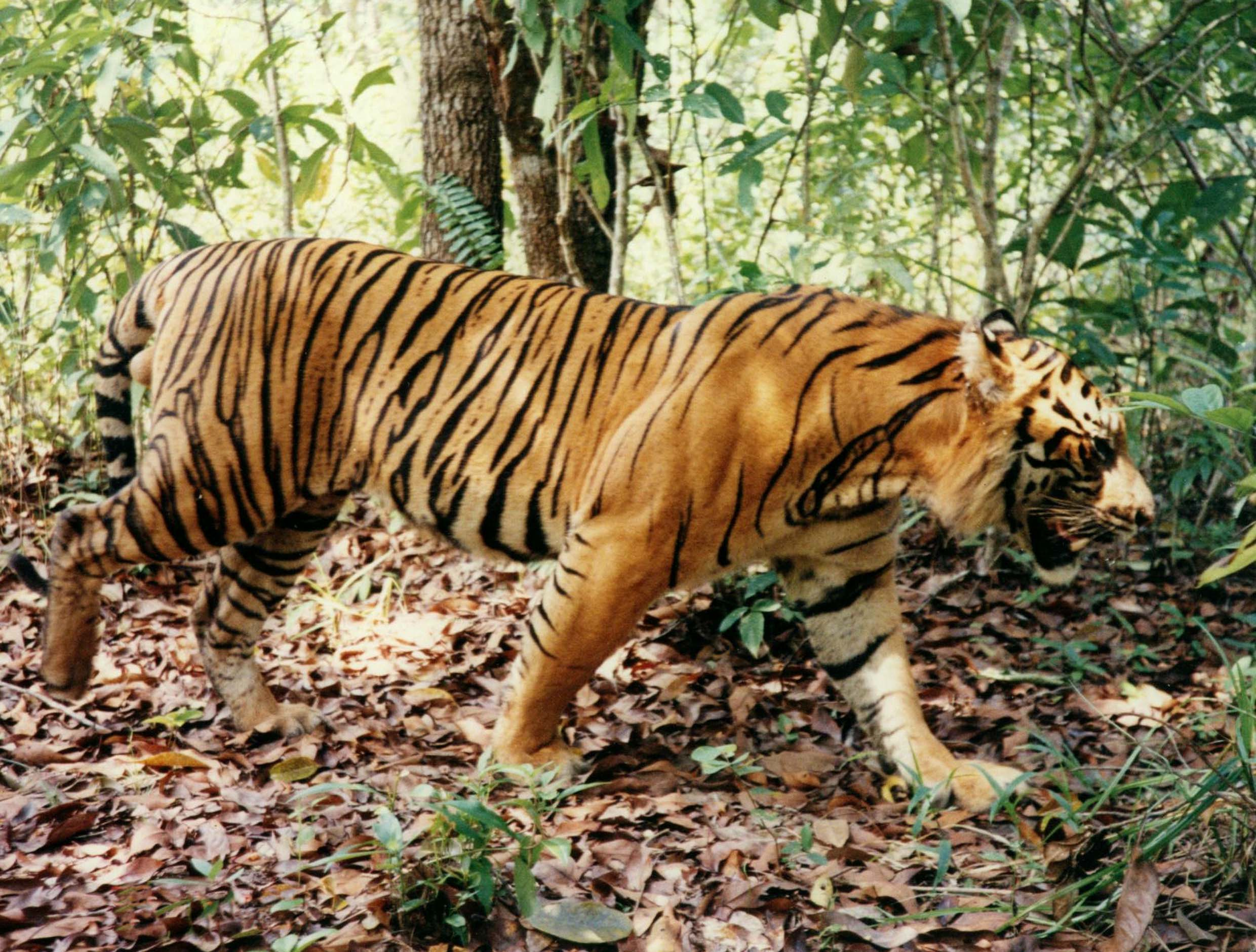 "Ẹkùn ""Baba Ẹranko"" - Tiger ""Father of Animals"
