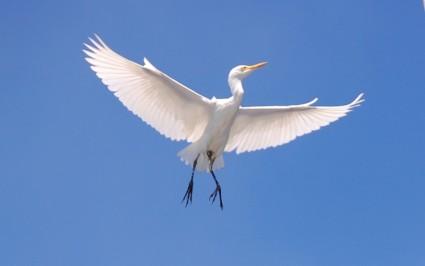 Lekeleke - Cattle-egret